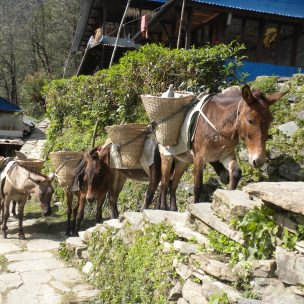 Mules instead of trucks in the mountains.